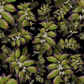 Coffee Bean Plant Green