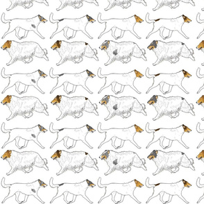 Trotting rough & smooth Color head white Collies border - white