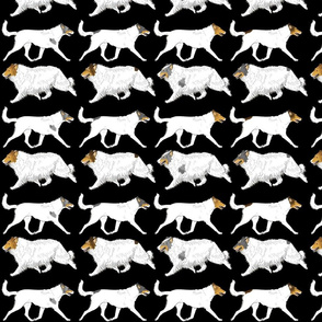 Trotting rough & smooth Color head white Collies border - black