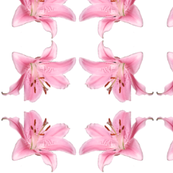 Pink Lily Trellis