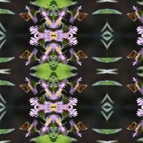 Endangered Moth on Aster
