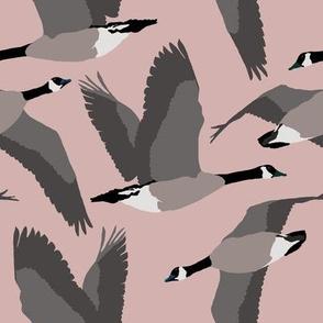 Canada Geese Flying in Buff