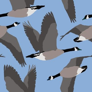 Canada Geese Flying in Blue