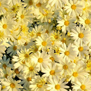 Daisies Forever - buttercup yellow