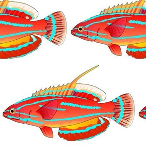 McCoskers flasher Wrasse