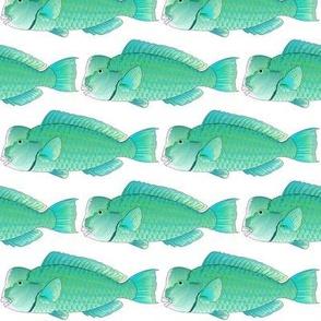 Green Humphead Bumphead Parrotfish