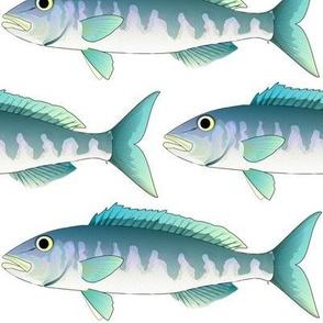 Green Jobfish Grey Snapper uku