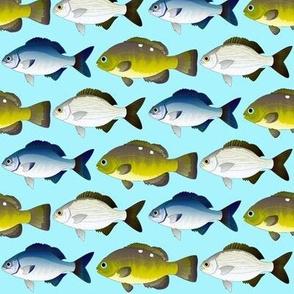 3 sea chubs on sea blue