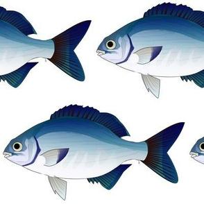 Blue Sea Chub