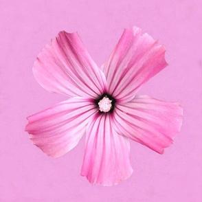 Pink Softness Capture