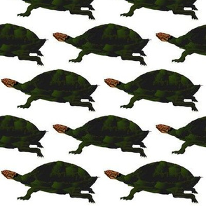 Amazon Giant River Turtle