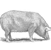 TEA TOWEL PIG GRAY