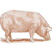 TEA TOWEL PIG COPPER