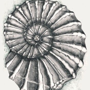 ammonite on grey