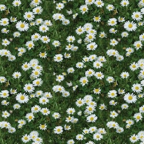 Oopsie Daisy (small blooms)