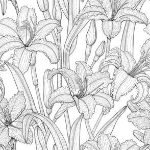 Tawny daylily flowers, b&w