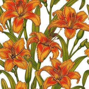 Tawny daylily flowers, white bg