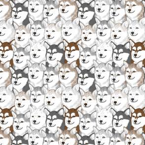 Alaskan Klee Kai portrait pack