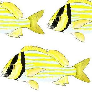 Porkfish Grunt