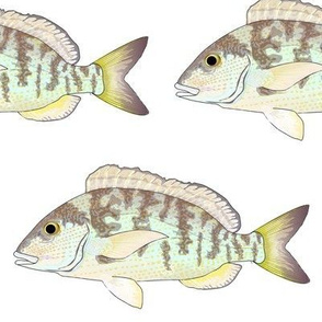 Pigfish Grunt fish