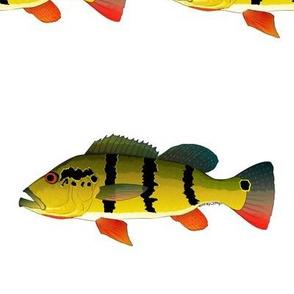 Peacock Bass