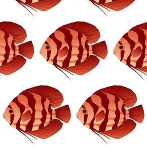 Discus Cichlid