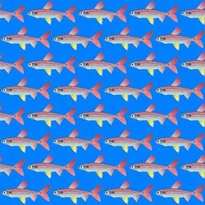 Pinktail Watermelon Fish on blue