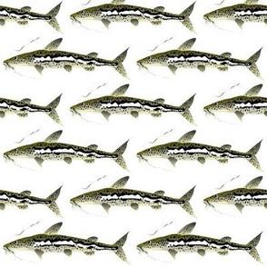 Spotted Sorubim Catfish
