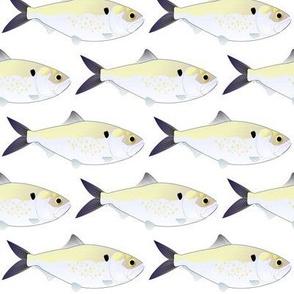Menhaden Bunker fish