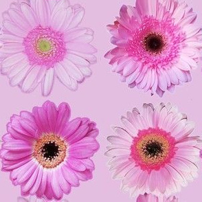 Daisies Pink on Dusty Pink