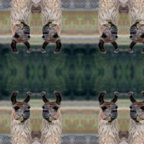 Llama Portrait 1 Duo Panel