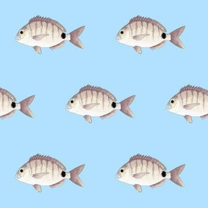Spottail Sea bream Pinfish in blue