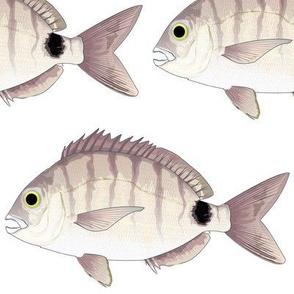 Spottail Sea bream Pinfish