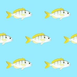 Pinfish on light blue