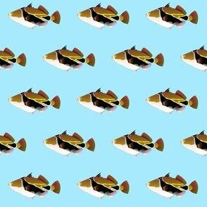 Reef Triggerfish humu on lt blue