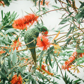 King Parrot Botanical Print