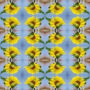 SunflowerOpening