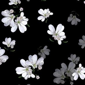 Coriander Flowers | Black