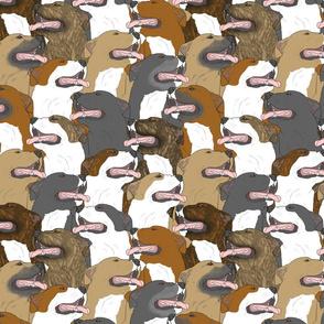 American Pit Bull Terrier portrait pack