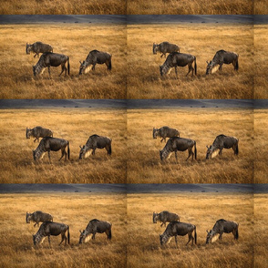 wildebeest in the golden grass