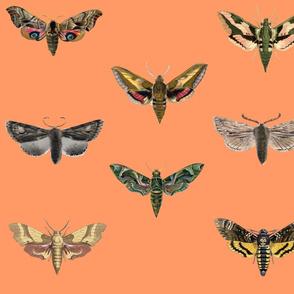 peach Moths