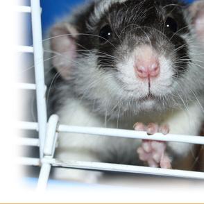 Cute Masked Rat