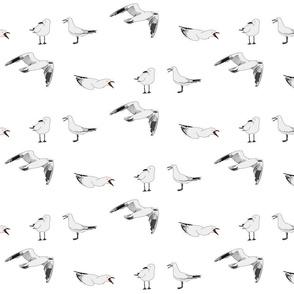 Black-billed gull or tarapuka