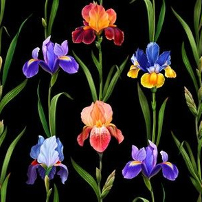Colorful irises