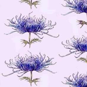 blue-chrysanthemum