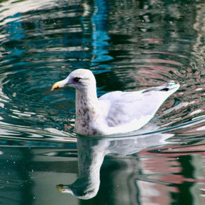 swimmingseagull