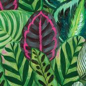 Calathea tropical plant leaves  - wallpaper