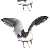 FlyingSeagull1