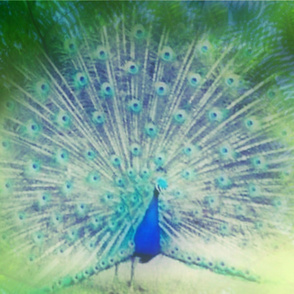 peacock in the tropics