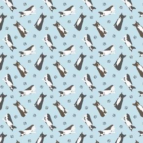Tiny Boston terriers - blue